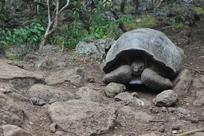 A photo of a tortoise in Ecuador