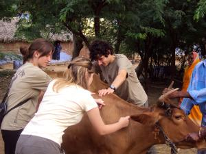 Volunteers on the Veterinary Medicine project in India treat cow in the street