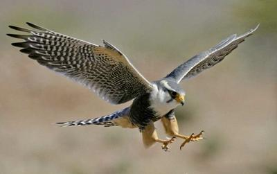 參與拉丁美洲動物關愛及獸醫項目觀察一頭野生獵鷹