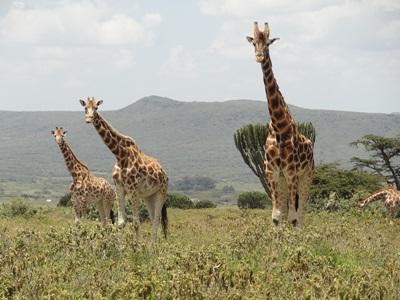 義工在肯雅非洲稀樹草原環保項目觀察長頸鹿的生態