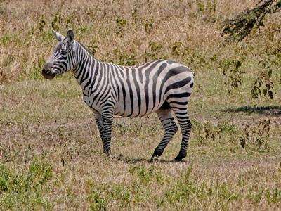 Zebras observed by volunteers on the Conservation project in Kenya with Projects Abroad