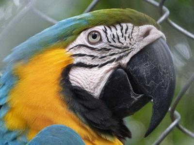 義工在秘魯環境保護項目裡觀察到的鸚鵡