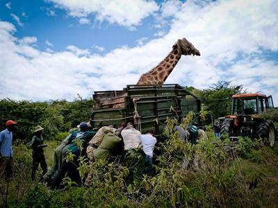 Conservation volunteers travel in a jeep through the safari on the Savannah project in Kenya