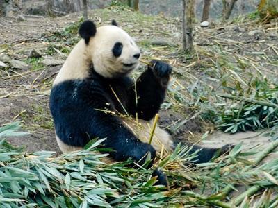Projects Abroad義工在野外地區參與中國的動物關愛項目進行熊貓保育工作