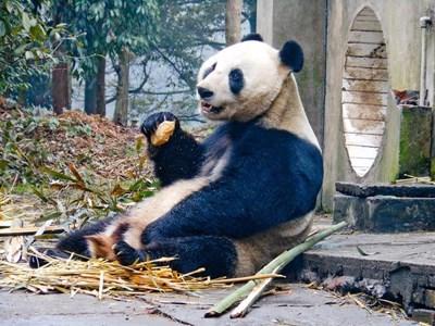 參與Projects Abroad的中國動物關愛項目進行照顧熊貓的工作