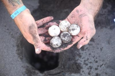 Volunteers collect newly laid turtle eggs on their Conservation Project in Mexico